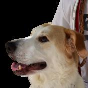 Λουριά σκύλων δερμάτινα